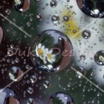 Daisies caught in a water drop lens.